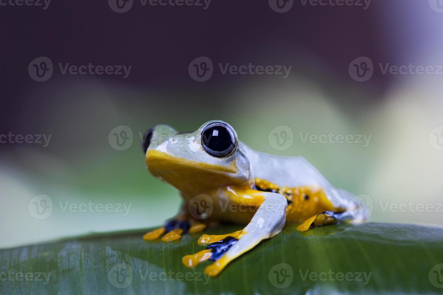 rana exótica en indonesia foto