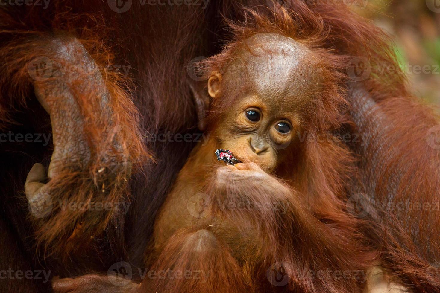 adorable bebé orangután. foto