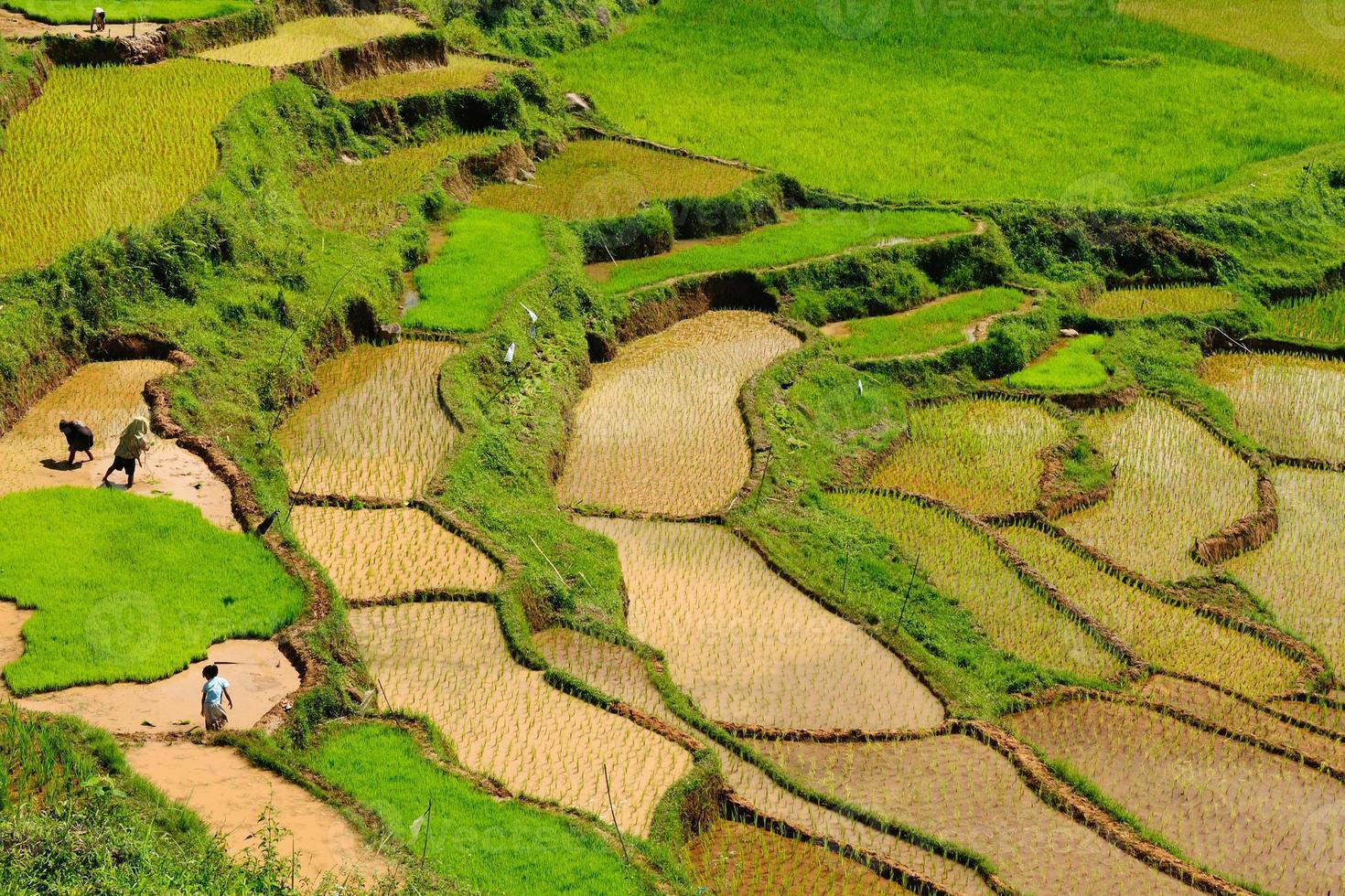indonesia, sulawesi, tana toraja, terrazas de arroz foto