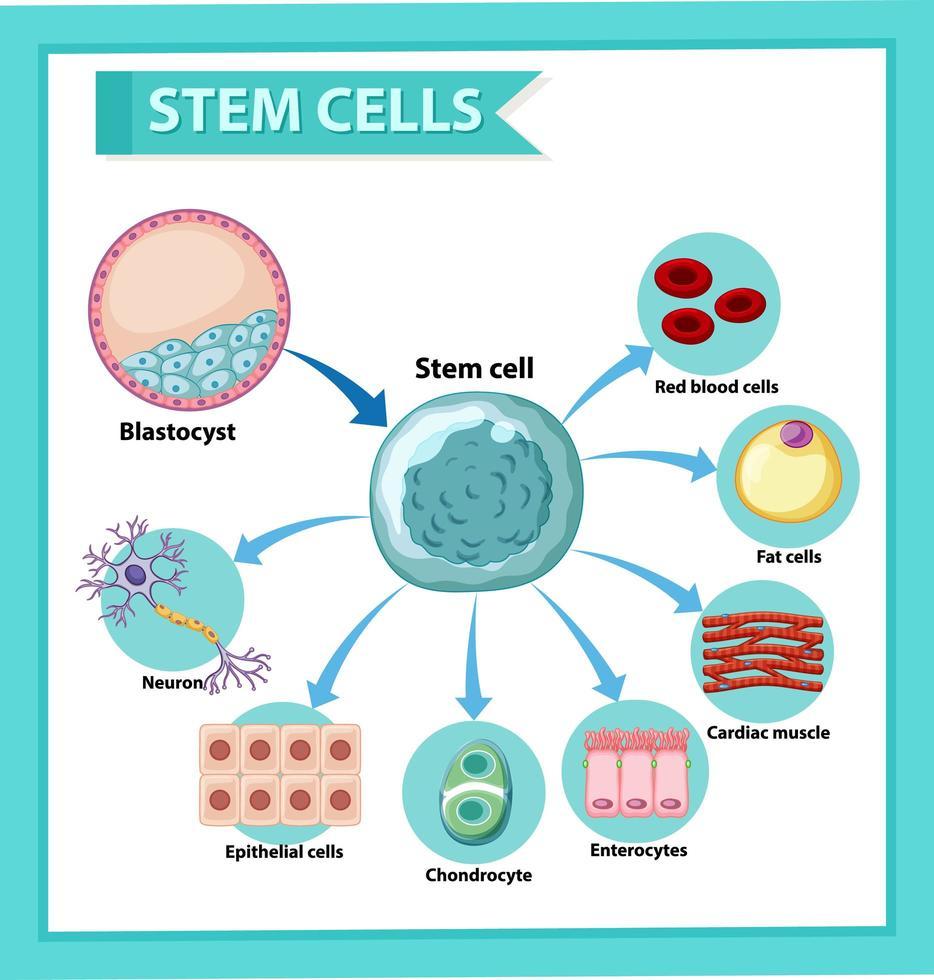 cartaz de informações sobre células-tronco humanas. conteúdo educacional. vetor