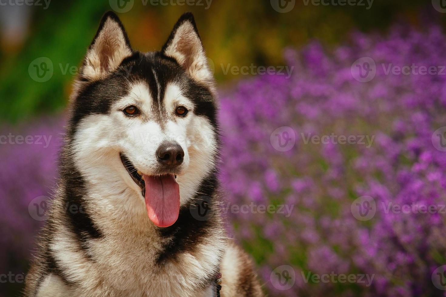 retrato de un perro de raza husky siberiano. foto