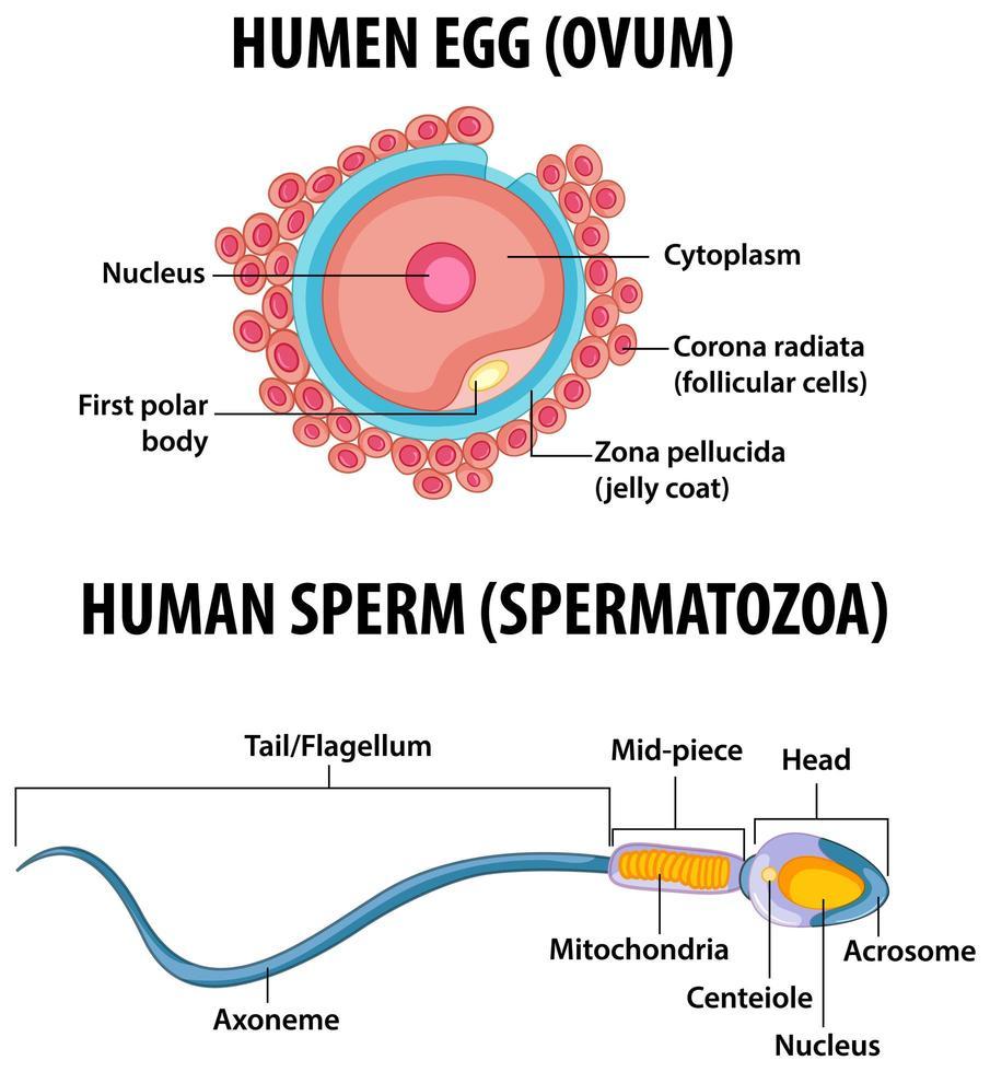 infografía de educación sanitaria de óvulos humanos y espermatozoides humanos vector