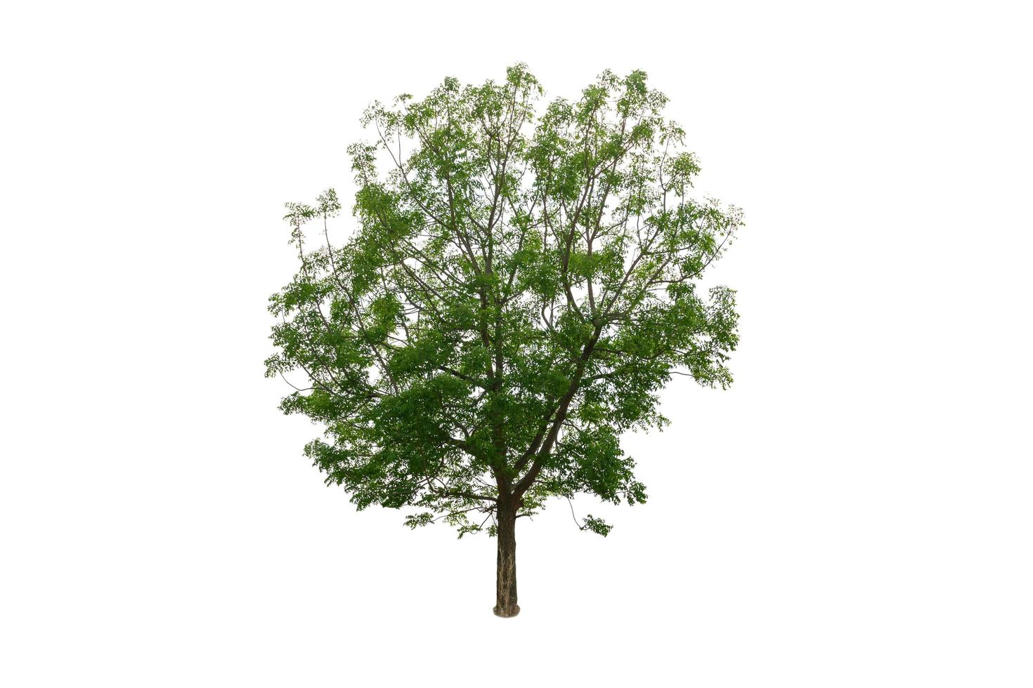 Green nature tree isolated on white background photo