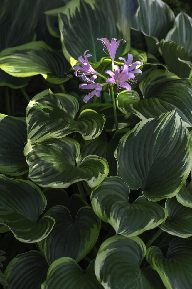 Purple delicate flowers on hosta photo