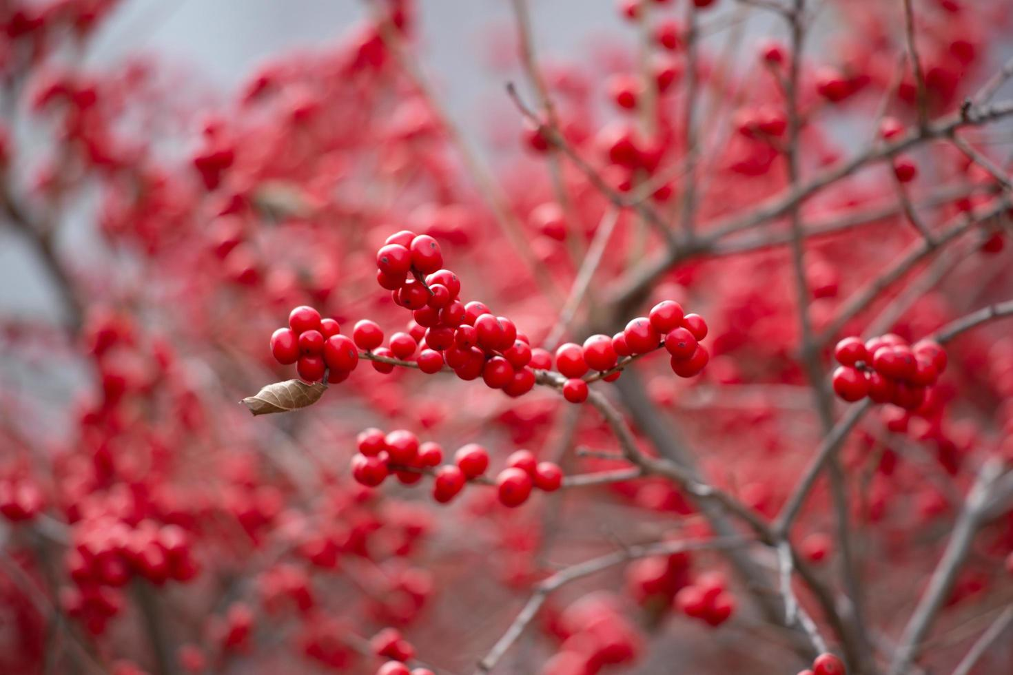Red berries growing on branch photo