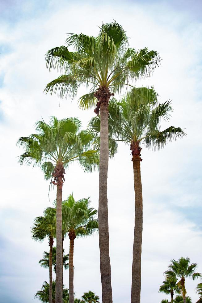 Palm trees in front of blue sky photo