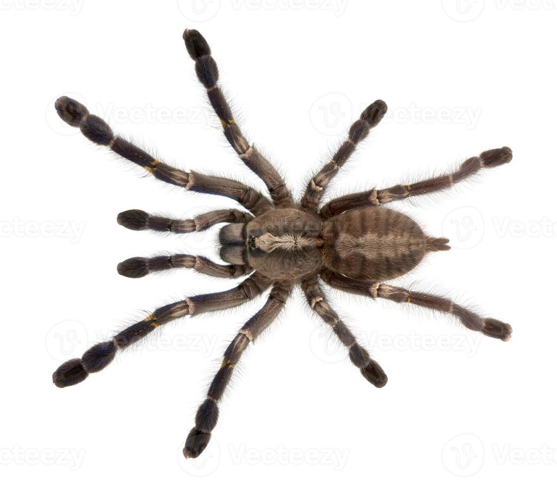 Vista de ángulo alto de la araña tarántula, poecilotheria metallica, fondo blanco. foto
