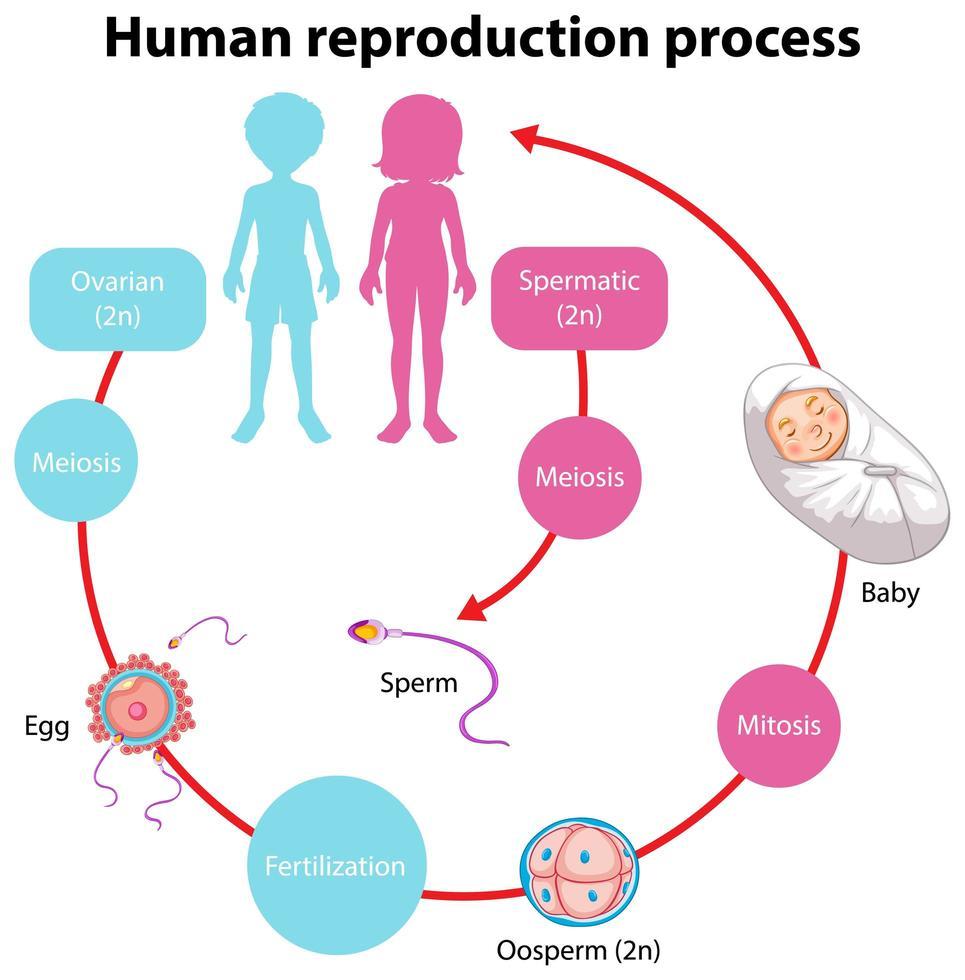 proceso de reproducción de infografía humana vector