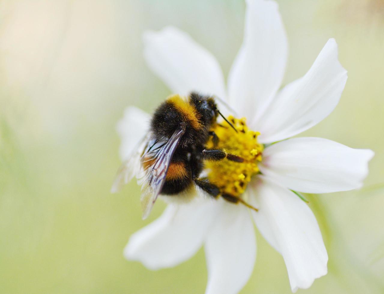 abejorro en flor de margarita foto