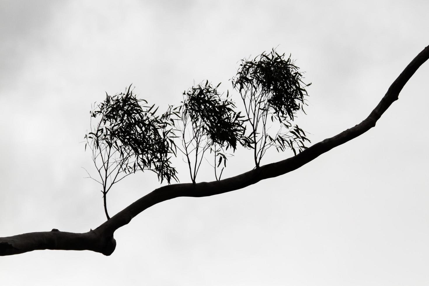blanco y negro de la silueta de la rama de un árbol foto