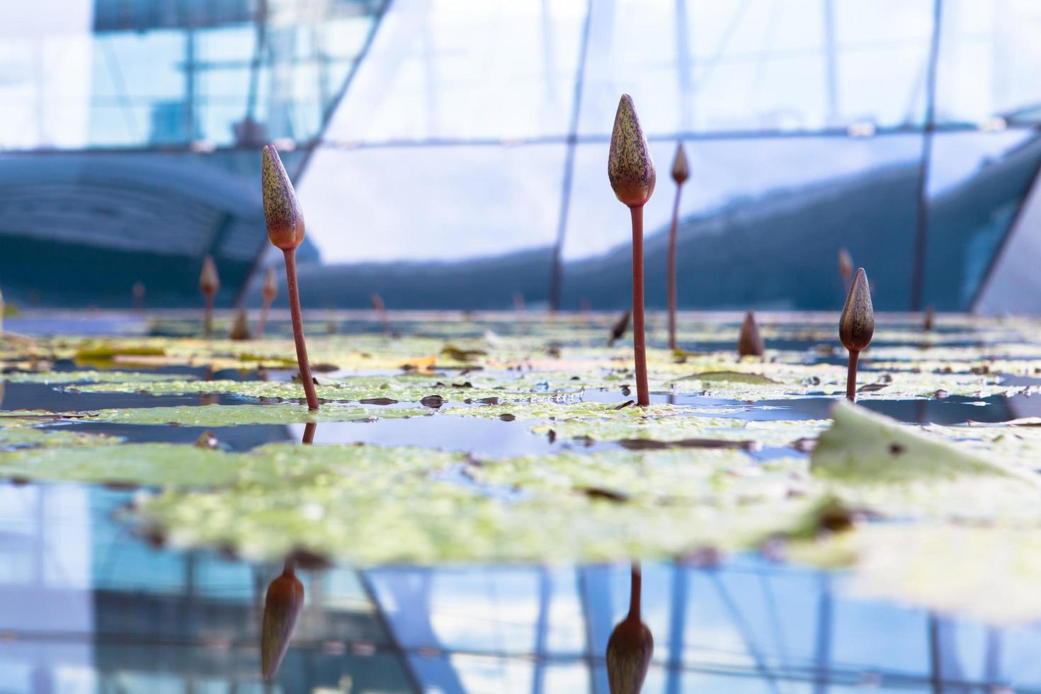 Singapore Botanical Gardens, Singapore, 2020 - Close-up of waterlilies in a greenhouse photo