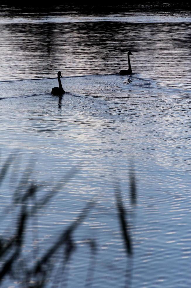Two swans on the water at night photo