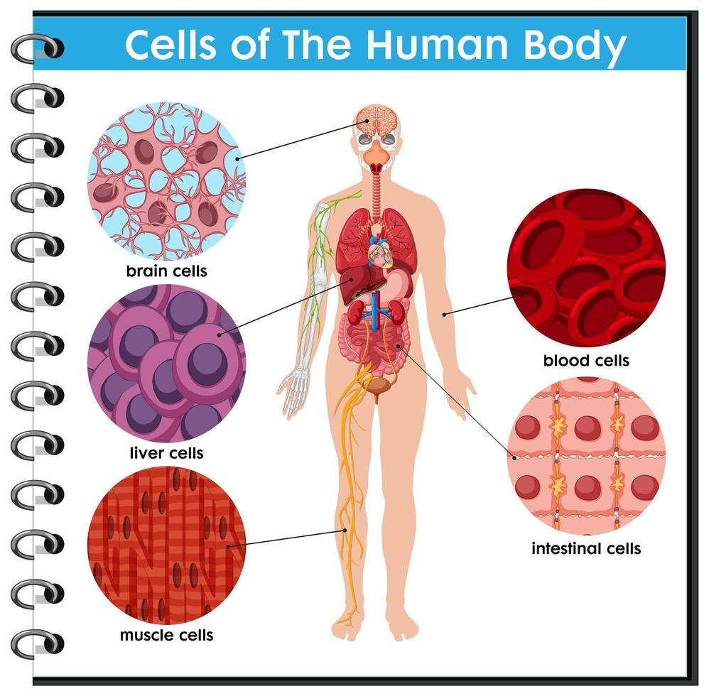 cartel de la célula del cuerpo humano vector