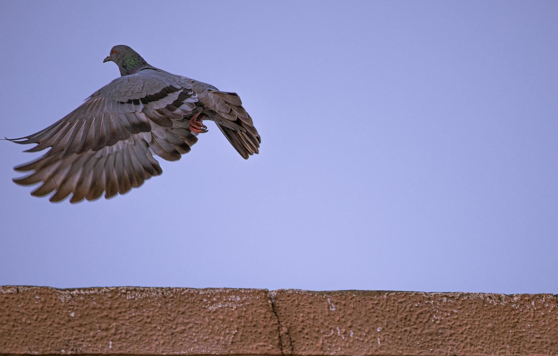paloma en vuelo foto