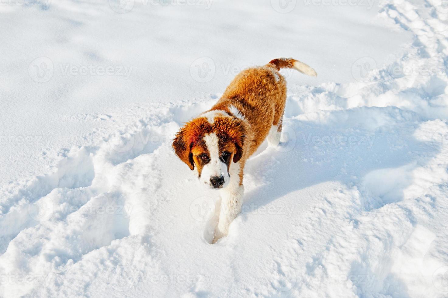 St Bernard dog photo