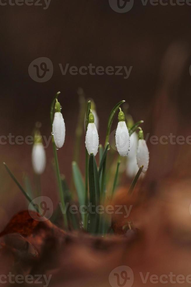 snowdrop flowers in morning, soft focus photo
