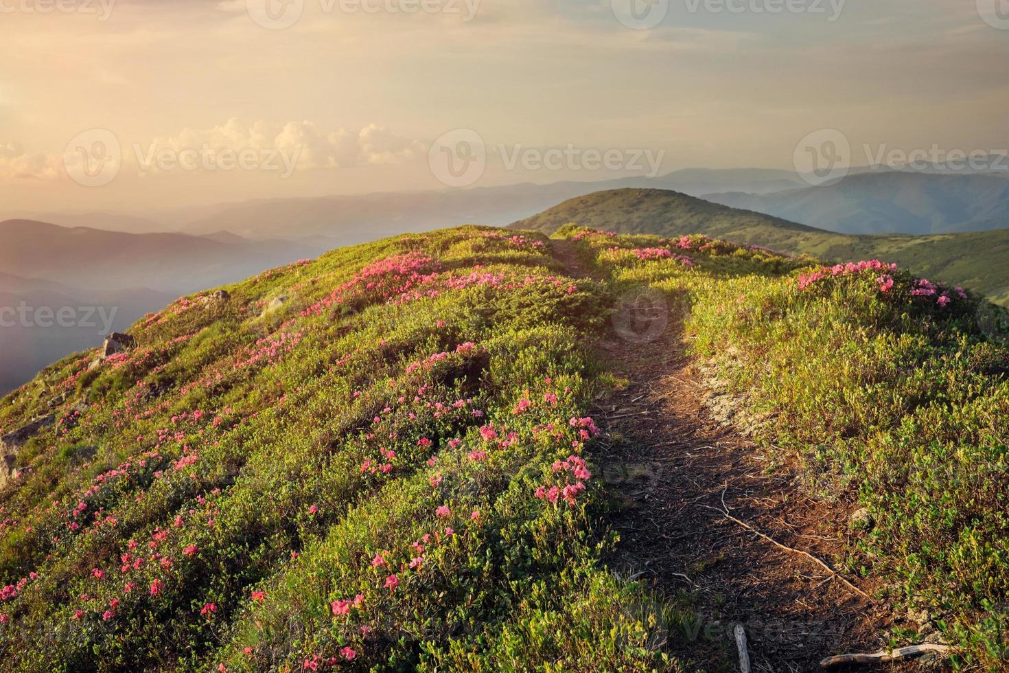 Mountain path through rhododendron flowers photo