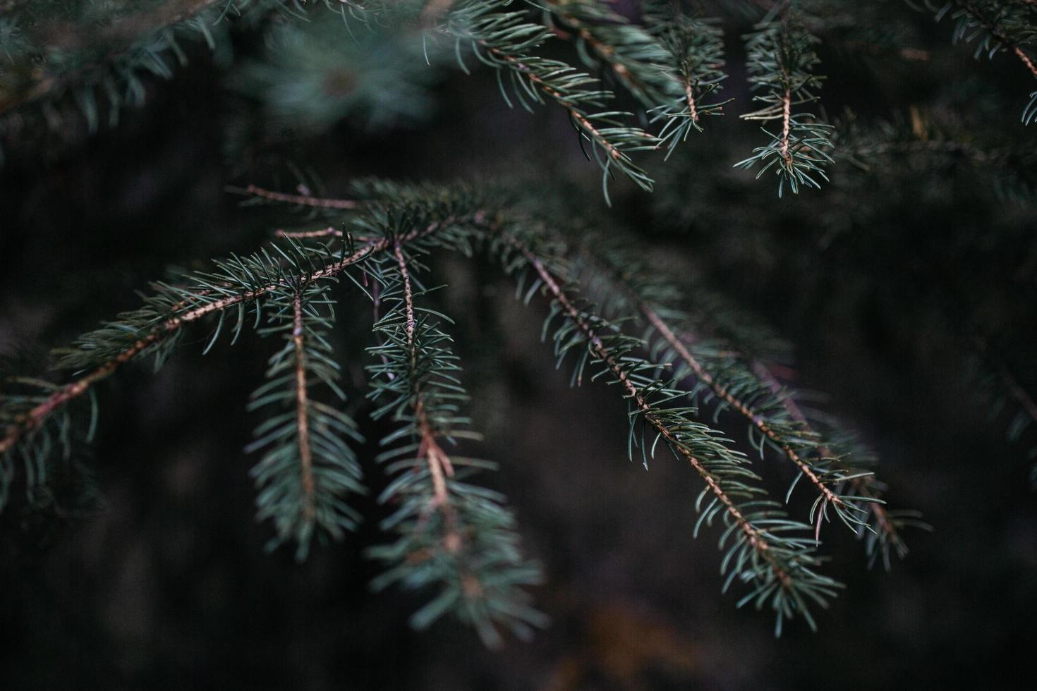 Shallow focus photography of pine tree during daytime photo