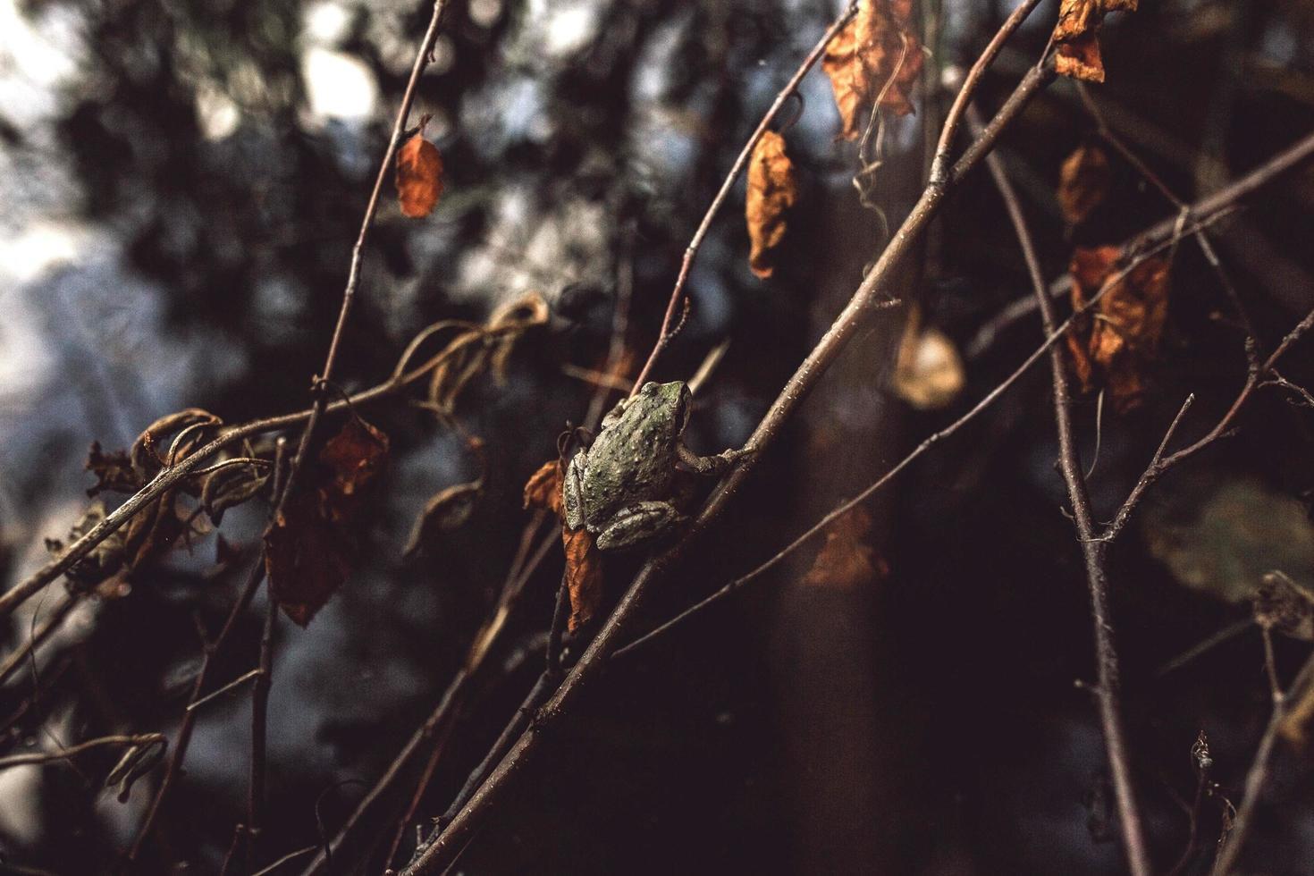 Pequeña rana arborícola en un tallo marrón en la temporada de otoño foto