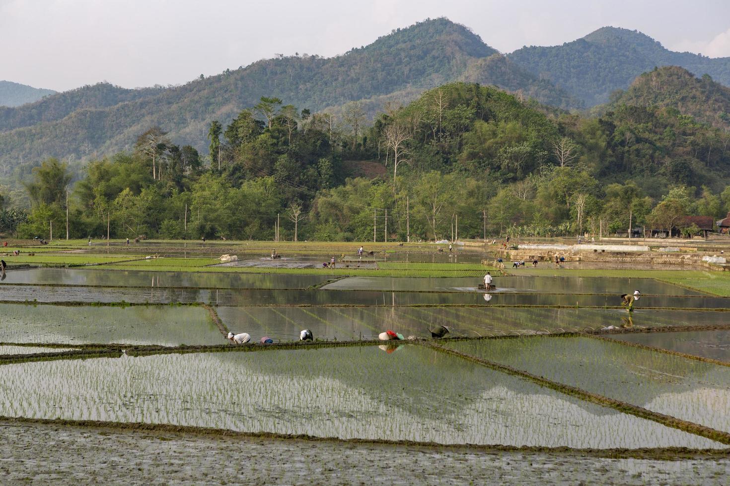 vietnam, 2019-agricultores que trabajan en un campo de arroz foto