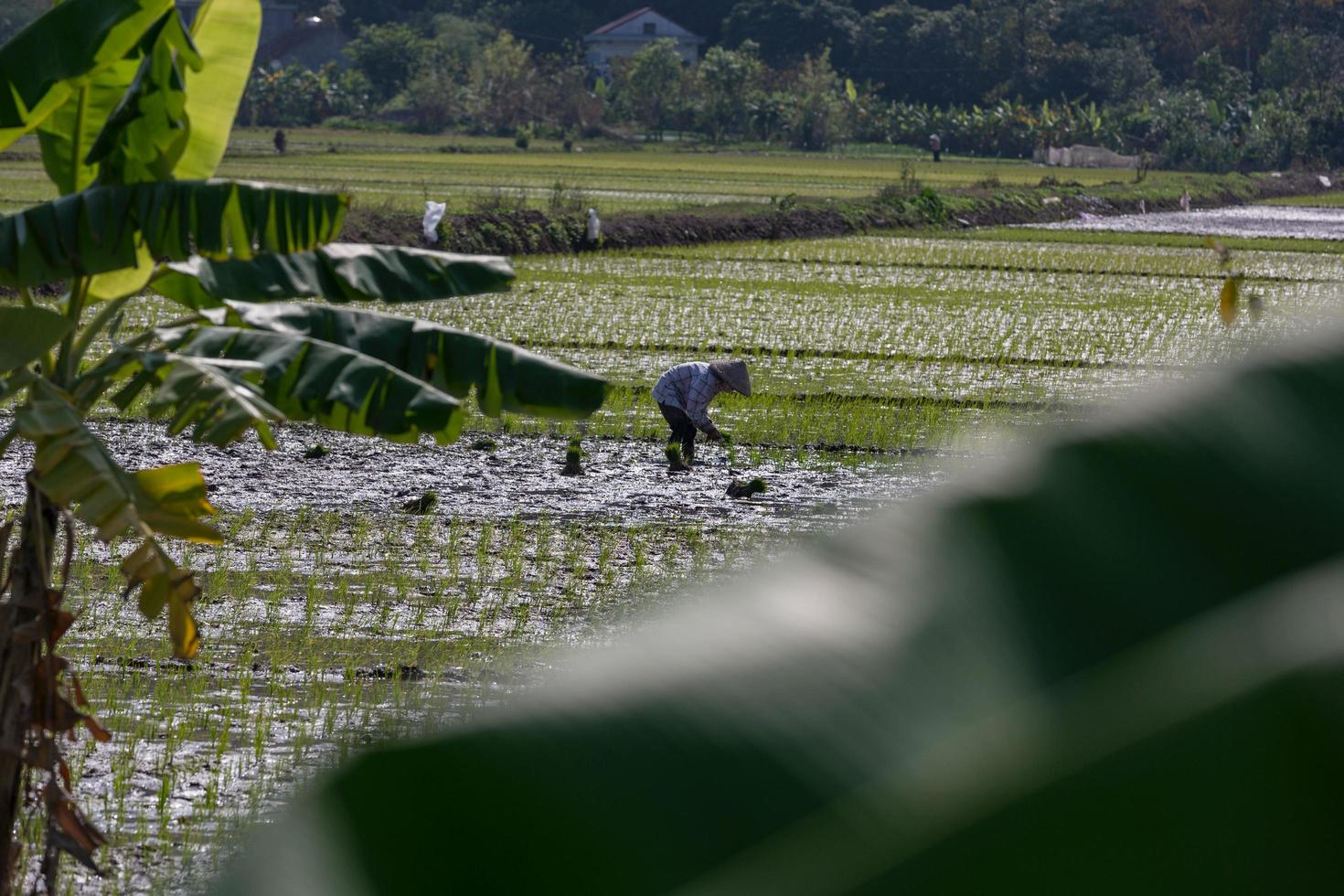 thanh pho ninh binh, vietnam, 2017- una mujer plantando arroz en un campo foto