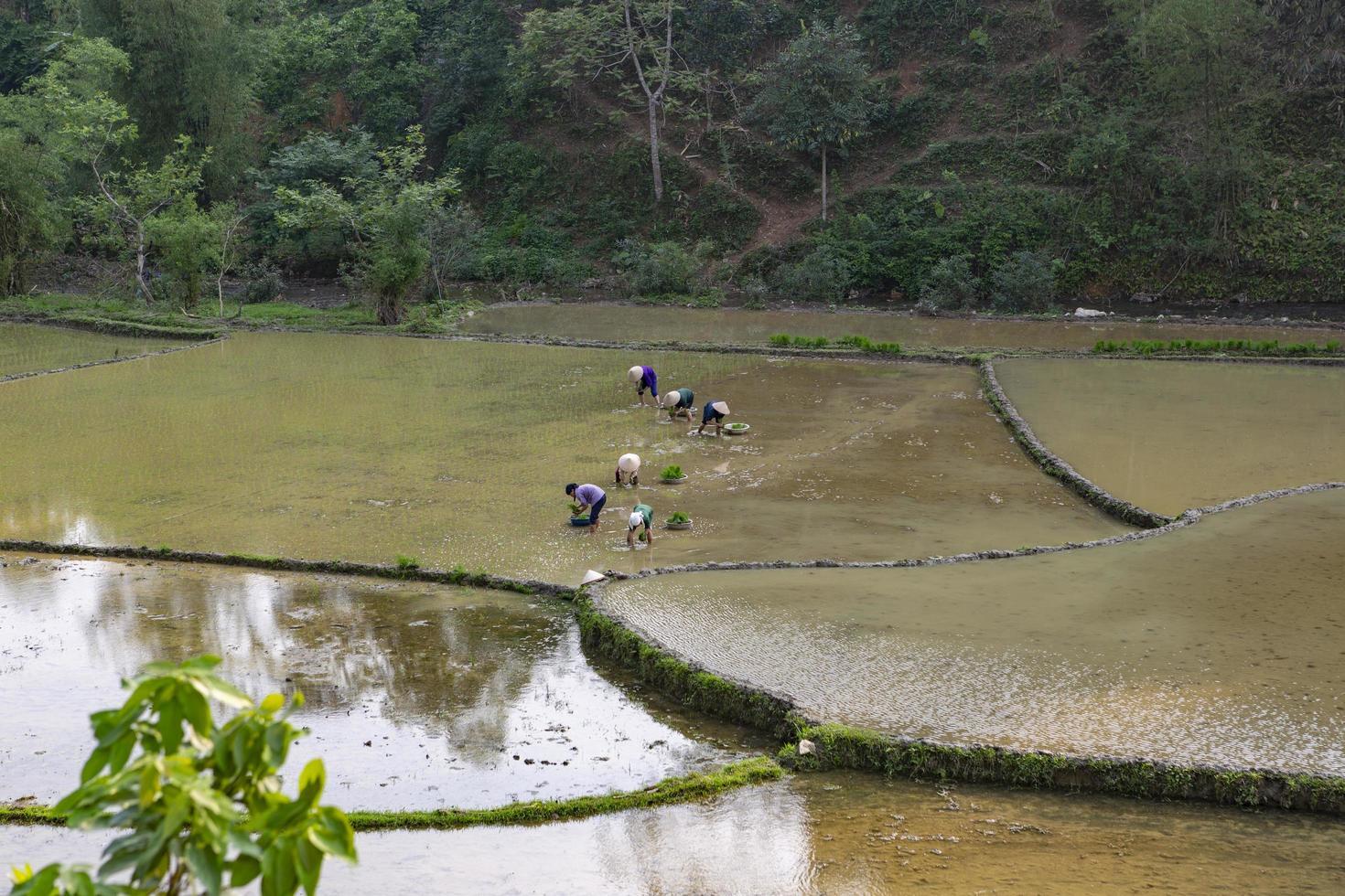 Vietnam del Norte, 2017- agricultores plantan arroz en un campo foto