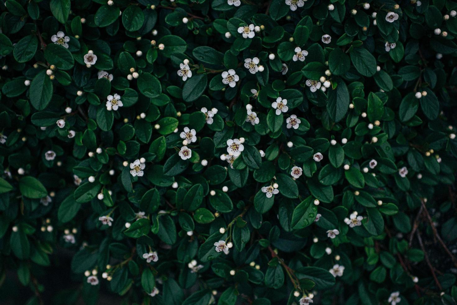 pequeñas flores blancas con hojas verdes foto
