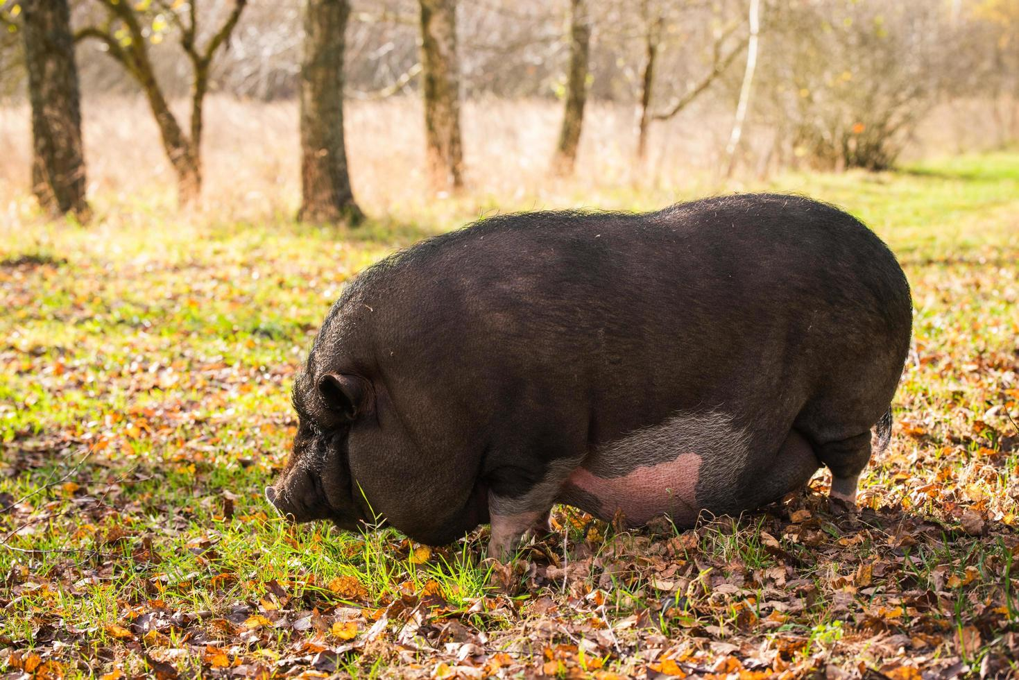 Pig in a field photo