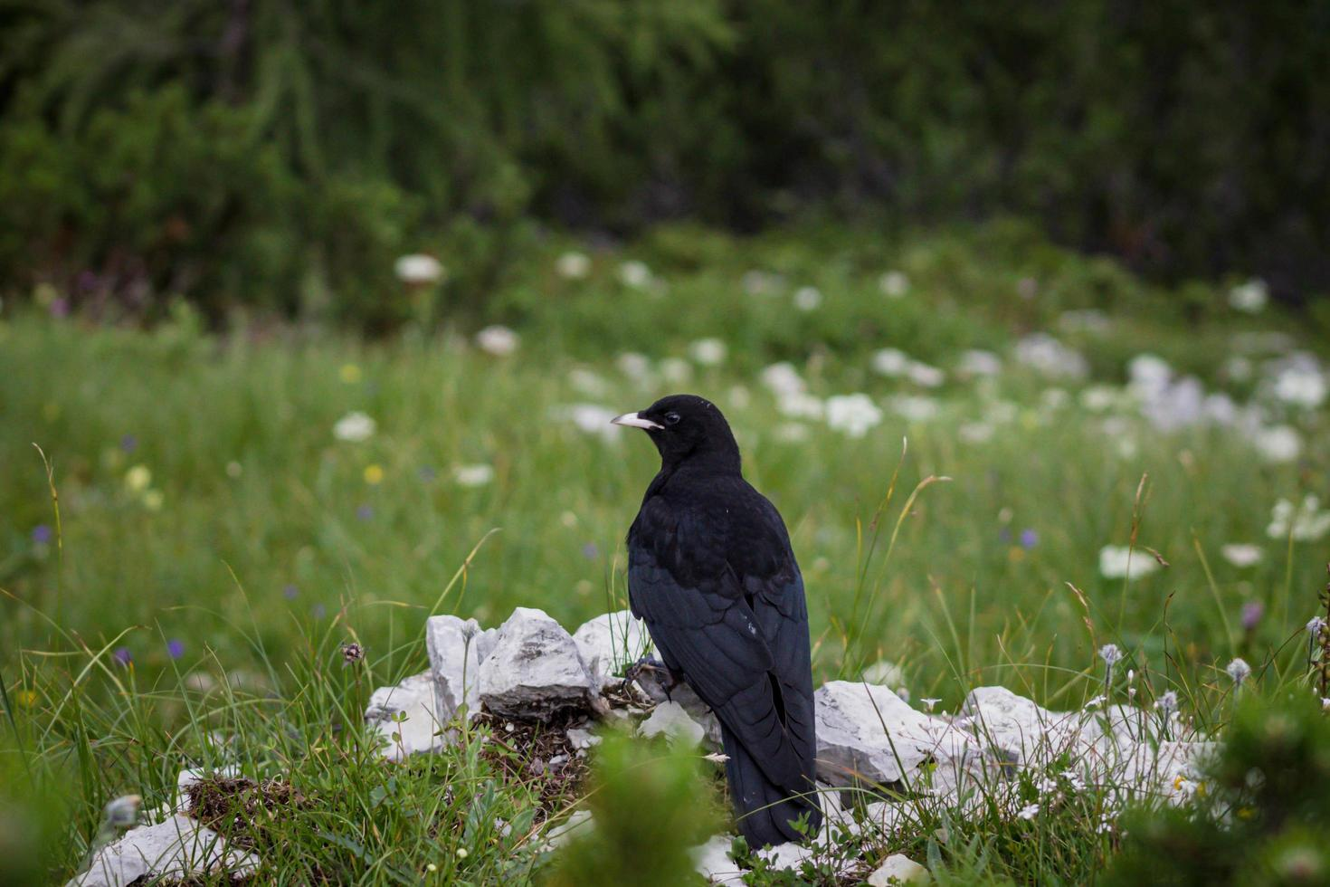 Crow on rocks in the grass photo
