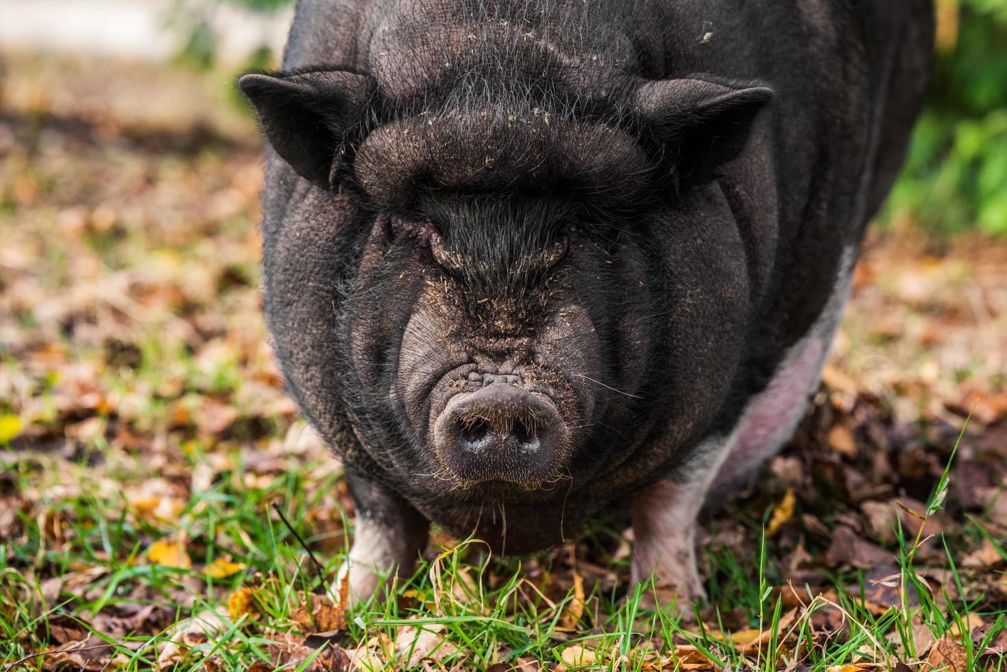 Close-up of a black pig photo