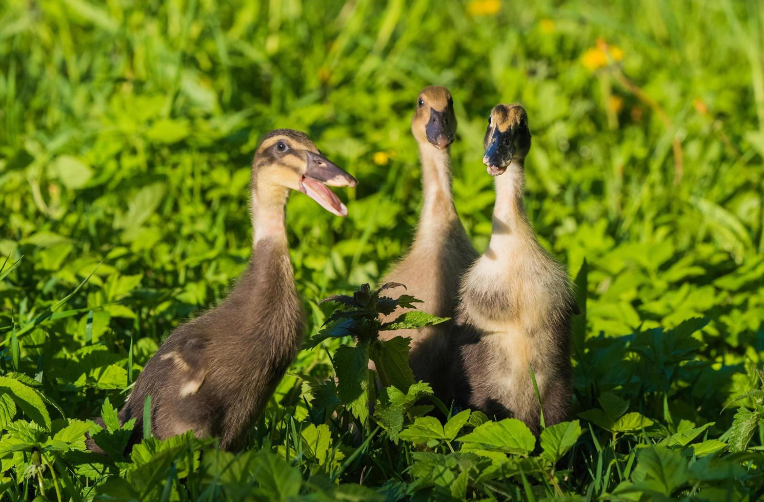 Three ducklings in grass photo