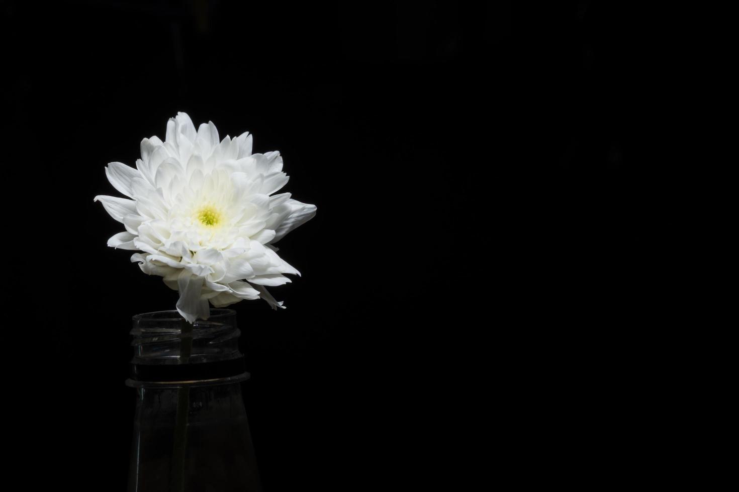 Flor de crisantemo blanco sobre fondo negro foto
