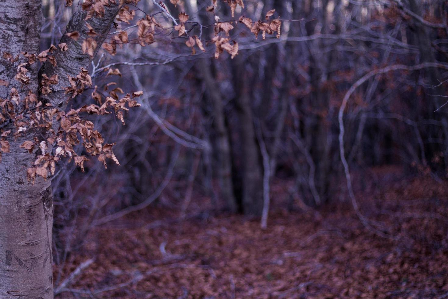 Autumn leaves in the woods photo