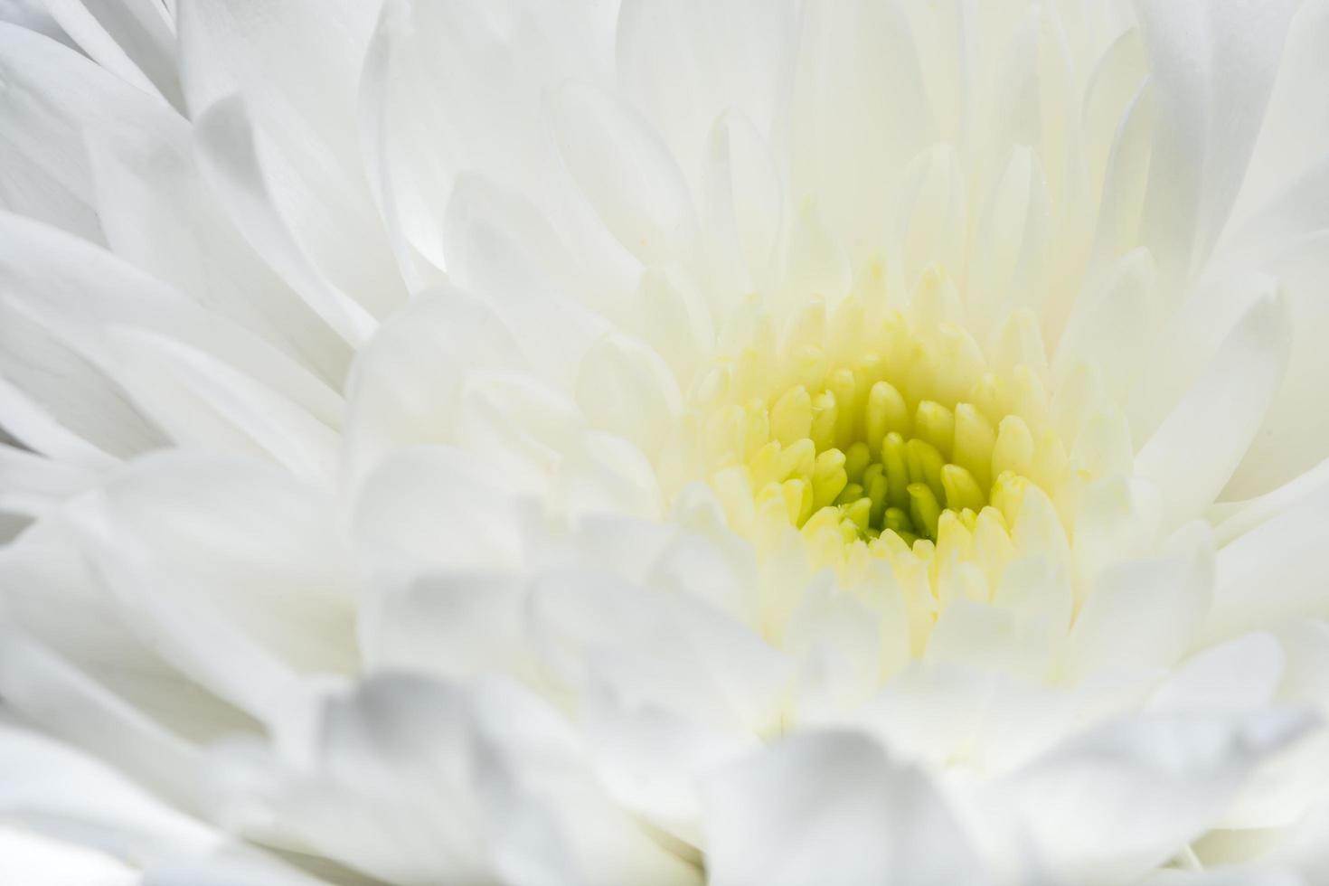Chrysanthemum white flower close-up photo