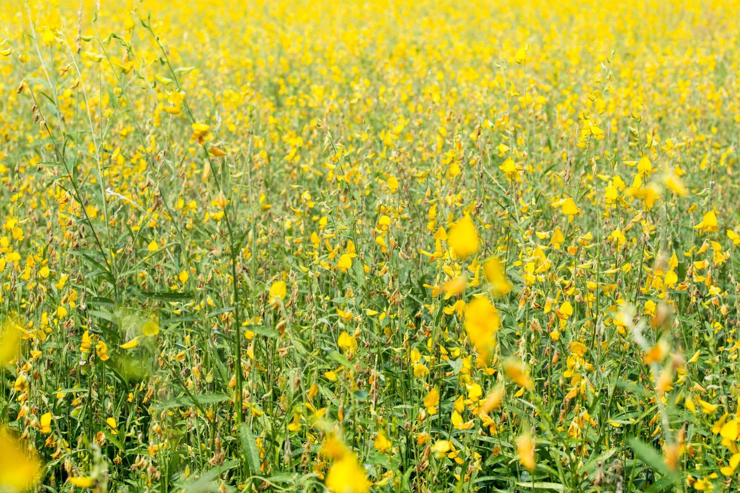 flores de crotalaria chachoengsao foto