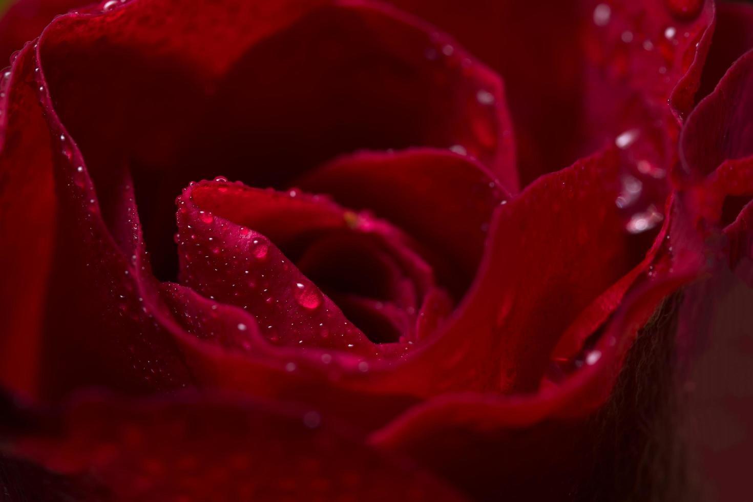 primer plano de hermosas rosas rojas foto