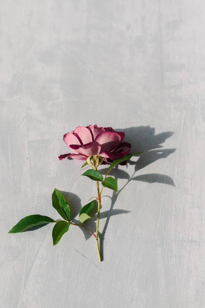 Pink rose on concrete photo