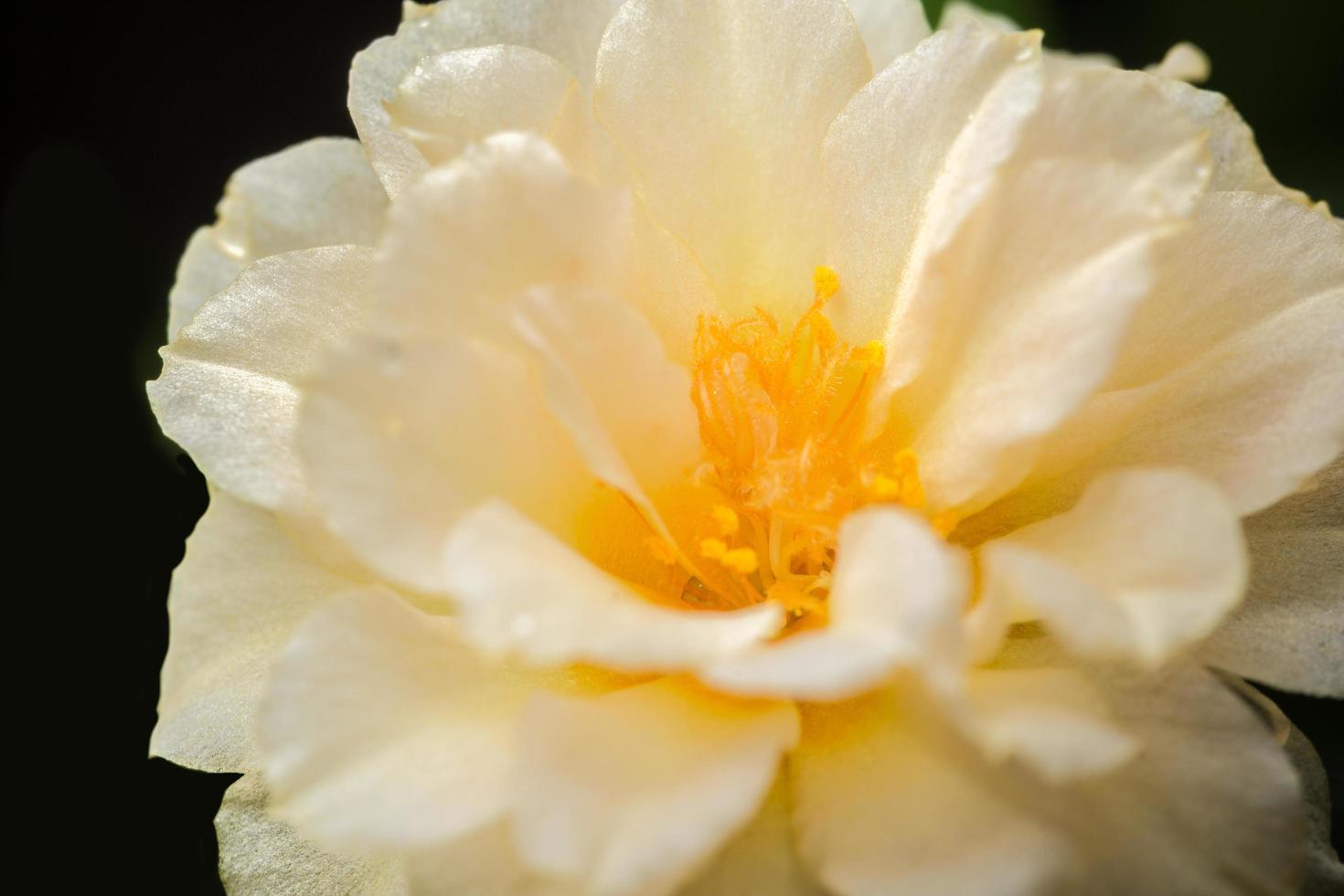 Portulaca oleracea macro flor foto