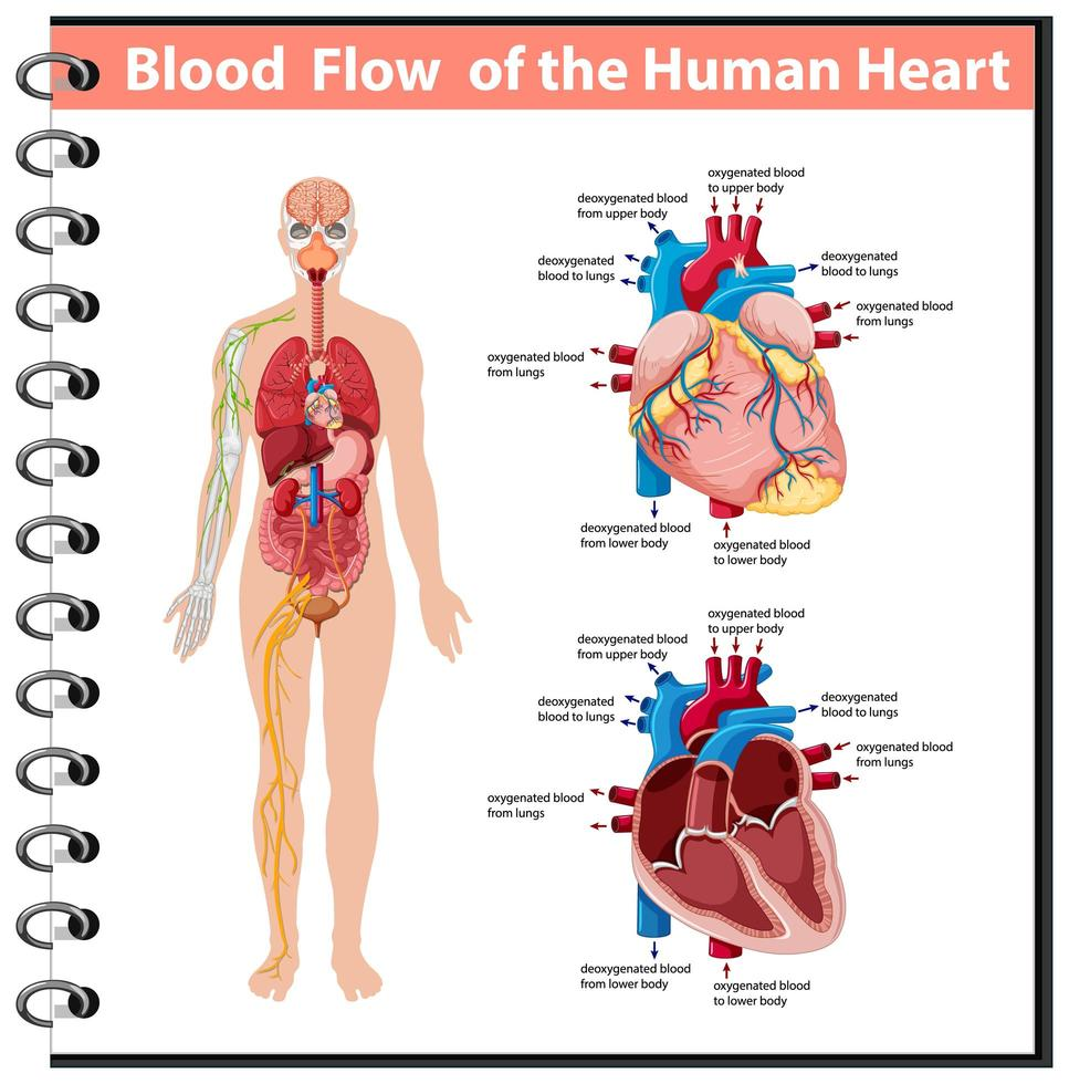 flujo sanguíneo del corazón humano infografía de información vector