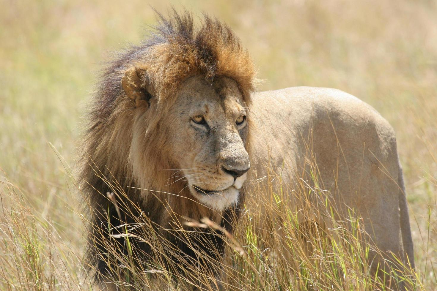 Wild male lion standing in a field photo