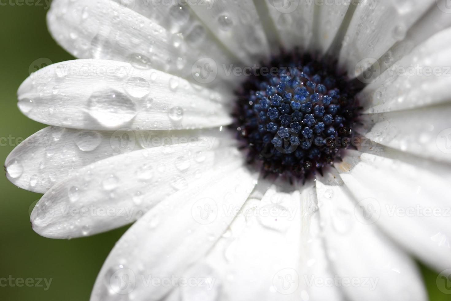 Rain Drops on African Daisy photo