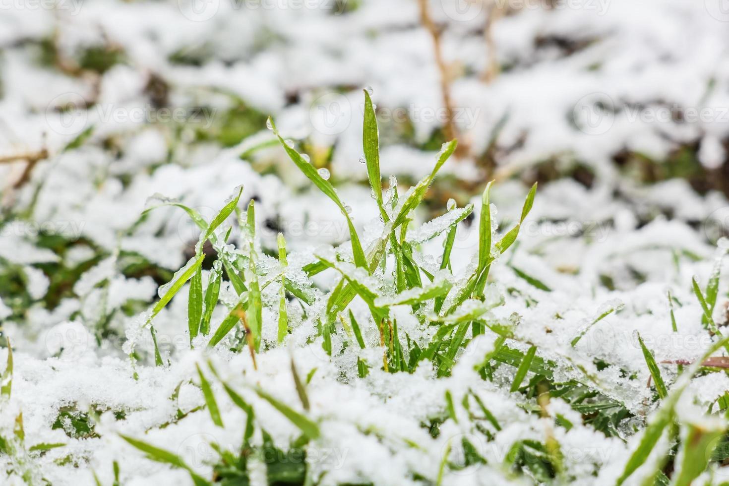 nieve mojada sobre la hierba verde en invierno foto