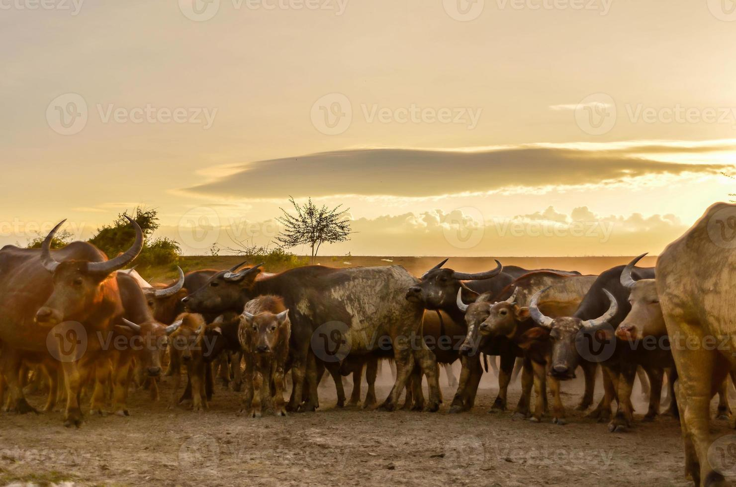Thai buffalo masses photo