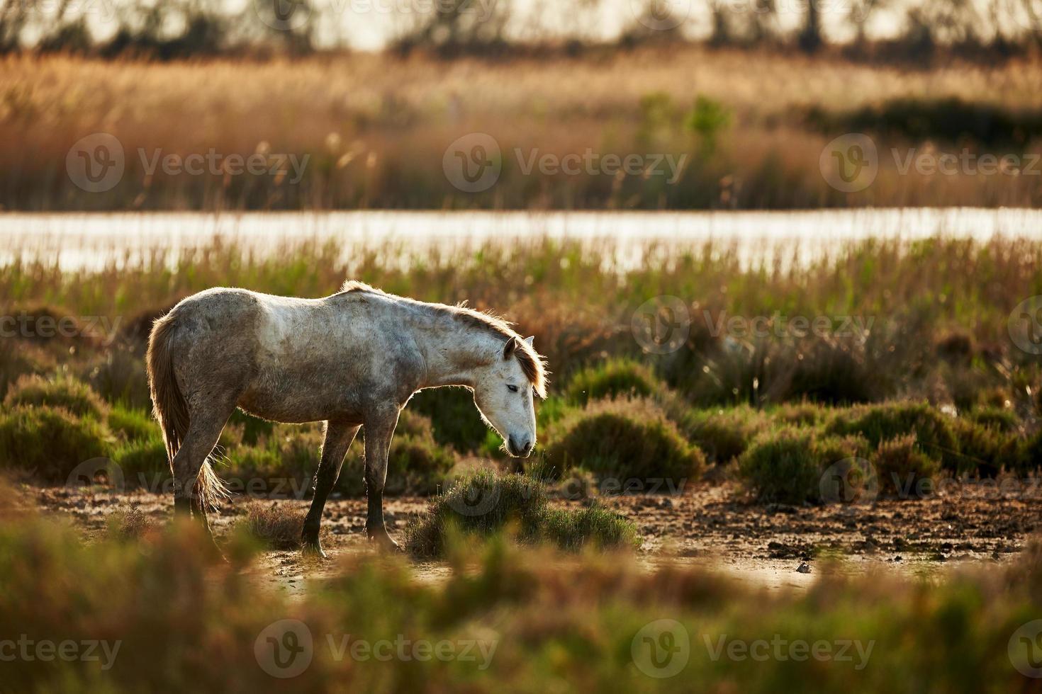 joven caballo blanco de camargue foto
