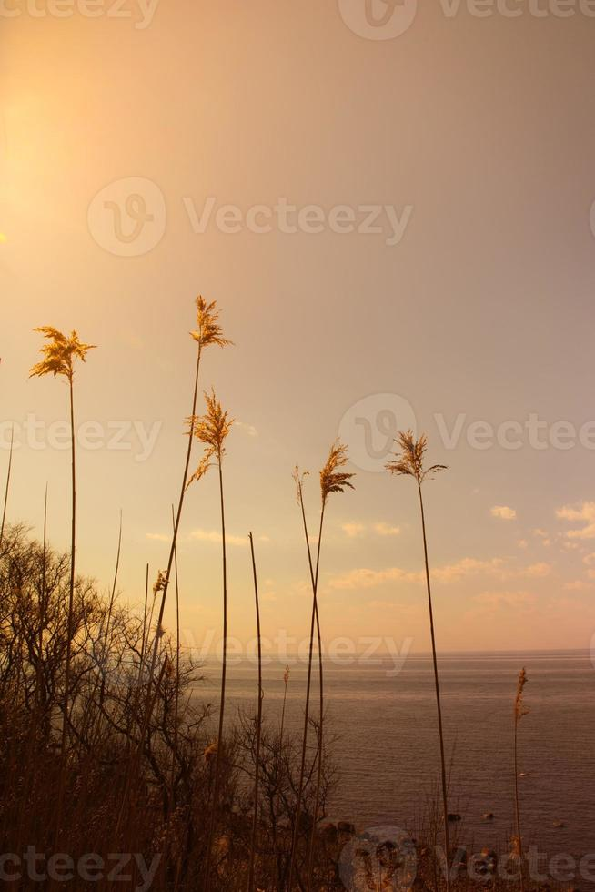 Tall Reeds photo
