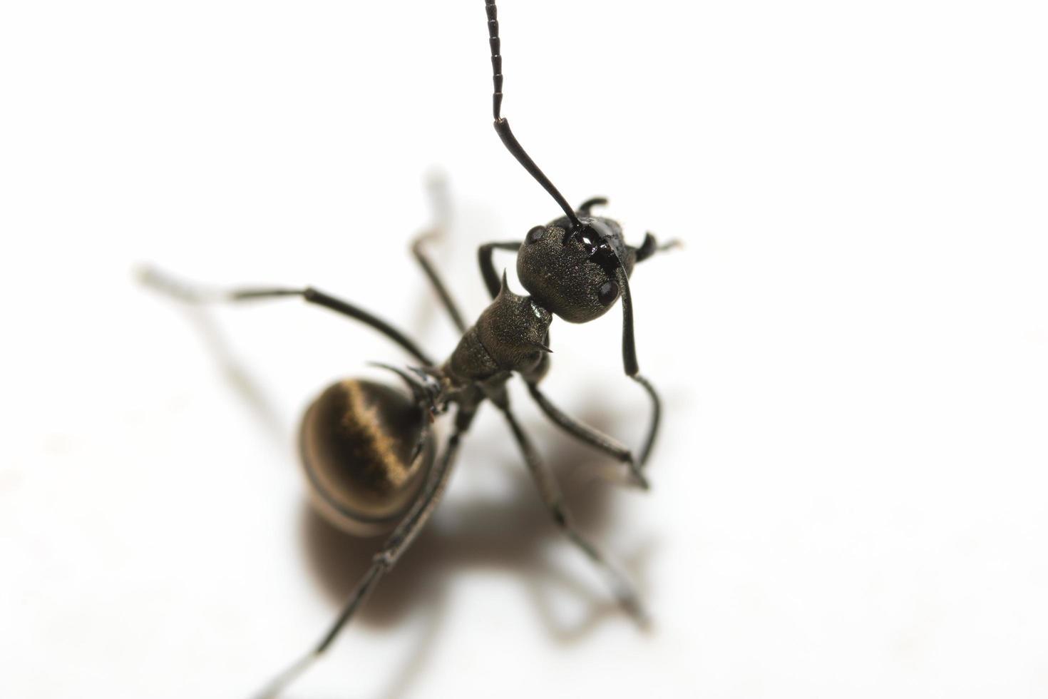 primer plano de la hormiga negra foto