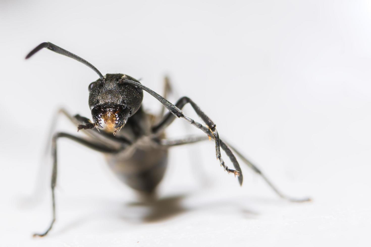 hormiga negra sobre fondo blanco foto