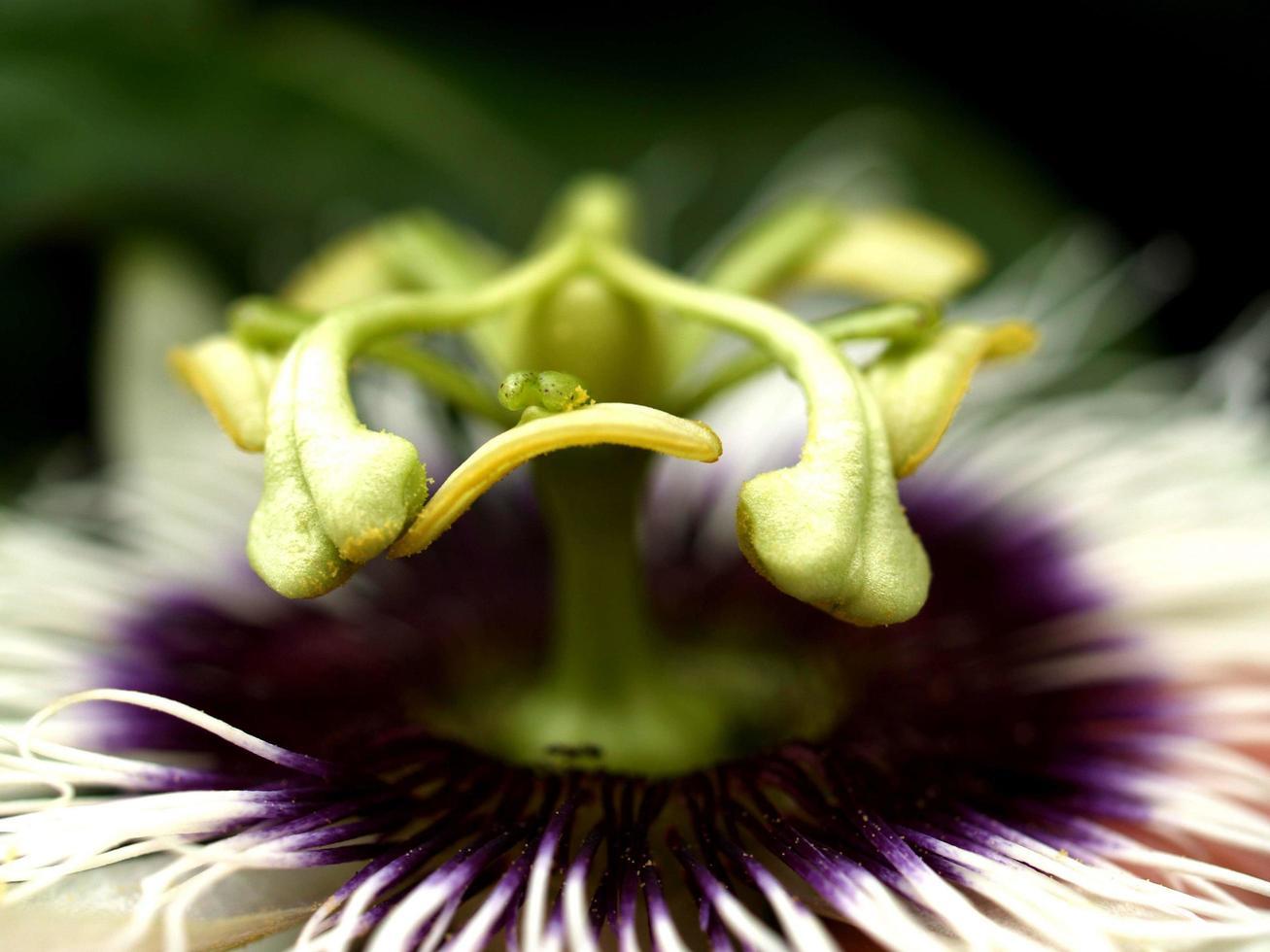 flor de maracuyá foto