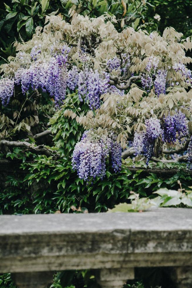flores de glicina púrpura foto