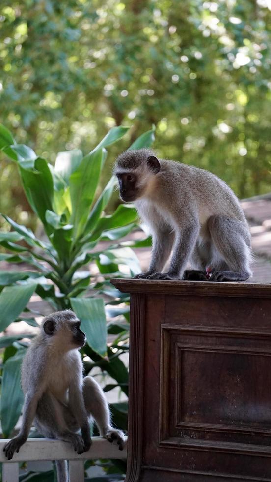 Two monkeys in a garden photo